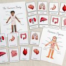 Human Anatomy & Organs  Montessori 3 Part Cards and Labeling   Etsy