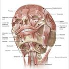 A1 Poster. Anterior neck and facial muscles of the human head with labels
