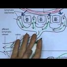 Lymphatic System 2, Lymphatic capillaries
