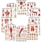 Muscles of the Body Laminated Chart Set