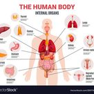 Human internal organs infographic poster vector image on VectorStock