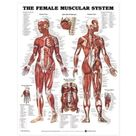 Female Musular System Chart / Heavy Paper (AC-09)