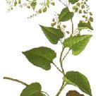 Fo ti  Root Benefits & Information (Fallopia multiflora)