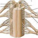 Dorsal Root Filaments   Spinal Nerve   RR School Of Nursing
