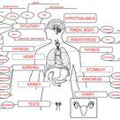 Endocrine System Concept Map Key