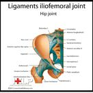Ligaments iliofemoral joint