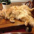 Reunited Ginger Long Hair Cat Mosman Sydney Nsw 2088 Lost