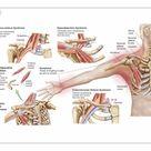 25cm Photo. Medical illustration detailing thoracic outlet