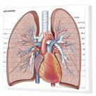 Box Canvas Print. Pulmonary veins and arteries