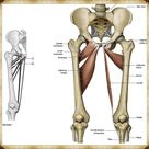 Kalça Anatomisi