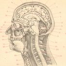1895 HUMAN BRAIN Antique Engraving, Anatomy of the Human Brain, Human Anatomy, Forebrain, Cerebrum, Base of the Brain, 126 years old print