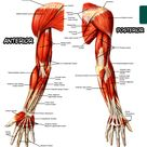 Muscles of the Upper Limb Anterior and Posterior Views