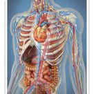 25cm Photo. Human body showing heart and main circulatory system