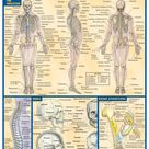 QuickStudy   Skeletal System Laminated Study Guide