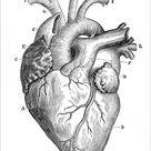 Photograph. Human Heart Anatomy 1888