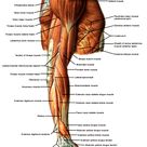 Muscles of the Upper Limb Lateral View