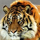 About Tiger