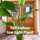 Tall Indoor low light Plant
