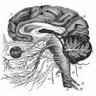 Framed Photo. Brain nervous ocular system engraving anatomy 1872
