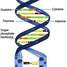 DNA consists of two long, twisted chains made up of nucleotides. Each nucleotide contains one base,  by drldf
