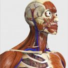 A1 Poster. Side view showing human bones with muscles and circulatory system