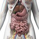 Weibliche Anatomie stock abbildung. Illustration von gallenblase - 30724450