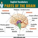 Parts of the Brain: Different Parts of Brain and Their Functions - ESL Forums