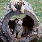 Species Of Tigers