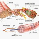 How do muscles contract? — Steemit