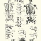 Print of Human Anatomy - Backbone including Ribs and Pelvis