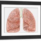Large Framed Photo. Diagram of human lungs showing blood supply