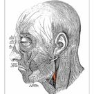 A1 Poster. Human anatomy scientific illustrations: Facial nerve