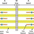 Schematic representation of a sarcomere. The thick and thin filaments...