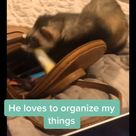 Cute Ferret Likes To Pack & Organize Bags
