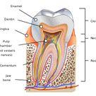 Human tooth - Wikipedia