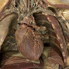 Wax anatomical model of a female showing internal organs, Florence, Italy, 1818   Science Museum Group Collection