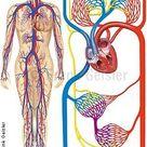 Anatomie Physiologie Herz-Kreislaufsystem, Kreislaufschema Blutkreislauf, Blutzi...