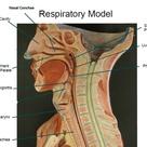 External Nares, Nasal Cavity, Nasal Septum, Nasal Conchae, Hard Palate, Soft Palate, Pharynx, Glottis, Epiglottis, Larynx, Trachea,