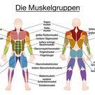 Muskel-Diagramm - GERMAN LABELING - wichtigste Muskeln des menschlichen Körpers - farbige Vorder-und Rückansicht - isoliert Vektor-Illustration auf weißem Hintergrund.