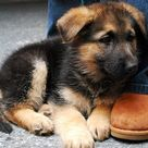 Baby German Shepherds
