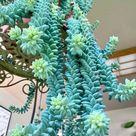 Puya Berteroniana Alpestris Sapphire Tower 10 Seeds Amazing Flowers RARE !