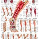 Muscles of the Leg Laminated Anatomy Chart