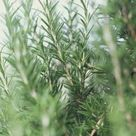 How to Prune Rosemary Plants