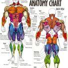 Body Muscle Anatomy Chart  Human Anatomy Body poster | Etsy