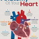 How the Heart Works & Pumps Blood Through The Human Body