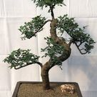 Chinese Elm Bonsai - Cured Trunk & Tiered Branches - 39 yrs. old  14 x 21 x 28 tall Potted in a 15 brown rectangle Mica pot.