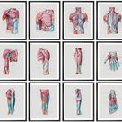 Human Body Muscles Diagram Labeled Muscular System Anatomy Poster Medical Watercolor Art Massage Therapist Gift Surgical Anatomy Prints