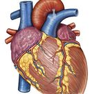 Gross Anatomy Of The Human Heart by Stocktrek Images