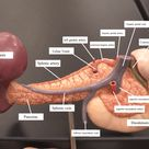 Posterior view of the abdominal viscera, showing arteries and veins around the pancreas and spleen.