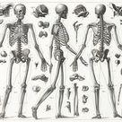 Print of Human Skeleton Engraving